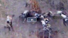 مبارزه خفن بین حیوانات وحشی