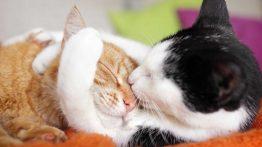 JOFTGIRI GORBE CAT