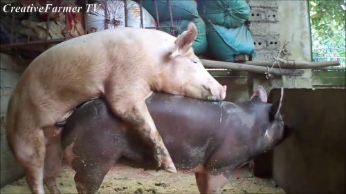 جفت گیری گراز با خوک در مزرعه در فصل جفتگیری