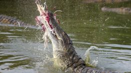 nile-crocodile-catching-bird
