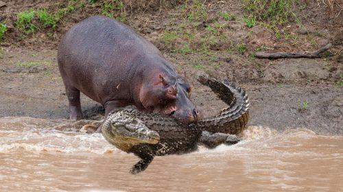 شکار کروکودیل توسط حیوانات وحشی در حیات وحش