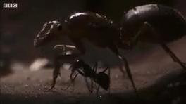 اعدام ملکه مورچه ها | گردن زدن ملکه توسط مورچه های خون آشام