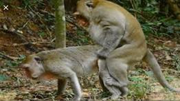 جفتگیری میمون ها Monkey mating (1)