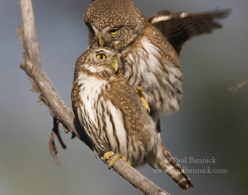 جفت گیری جغد Owl mating