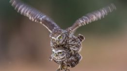 جفت گیری جغد Owl mating (9)