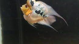 جفت گیری ماهی Fish mating روش تولید مثل ماهی (3)