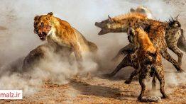 جنگ حیوانات و شکار حیوانات (3)