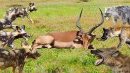 شکار گوزن توسط سگ های وحشی