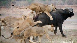 فیلم شکار حیوانات Animal Hunting Movie