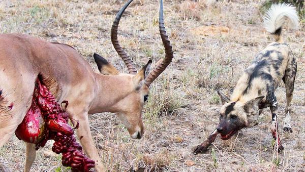 شکار سگ های وحشی