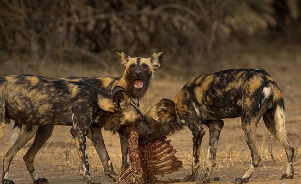 شکار سگ های وحشی | مبارزه حیوانات برای غذا | حمله حیوانات وحشی Hunting for wild dogs