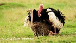 Ostrich mating