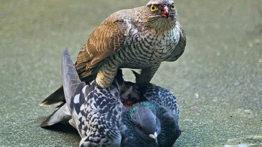 تغذیه پرندگان شکاری (2)