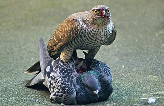 تغذیه پرندگان شکاری
