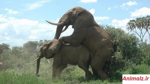 جفت گیری حیوانات animals mating  فیل