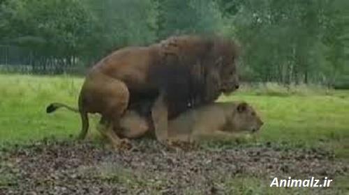 جفت گیری حیوانات animals mating  شیر