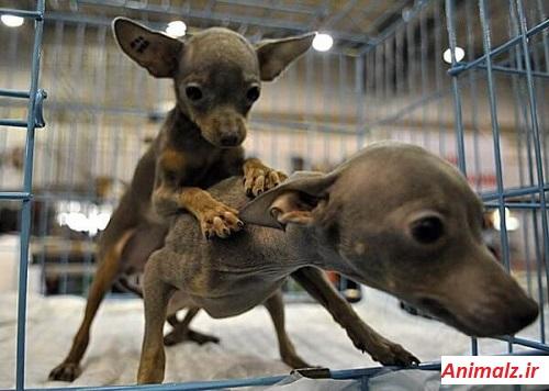 جفت گیری حیوانات animals mating  سگ