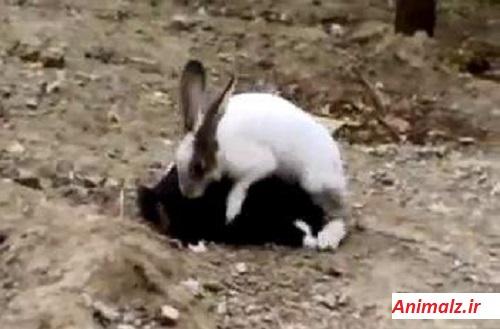 جفت گیری حیوانات animals mating  خرگوش