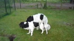 جفت گیری سگ های خارجی