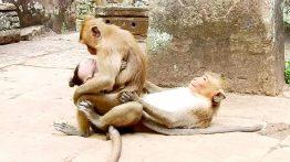 جفت گیری میمون