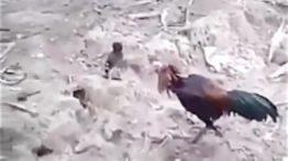 جنگ مرغ مینا با خروس لاری