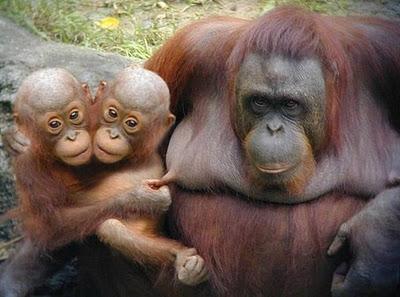 حیوانات دو سر میمون
