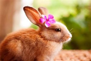 خرگوش Rabbit