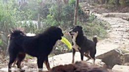سگ نژاد سیاه پوز