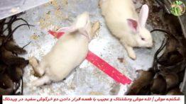 شکنجه موش تله موش