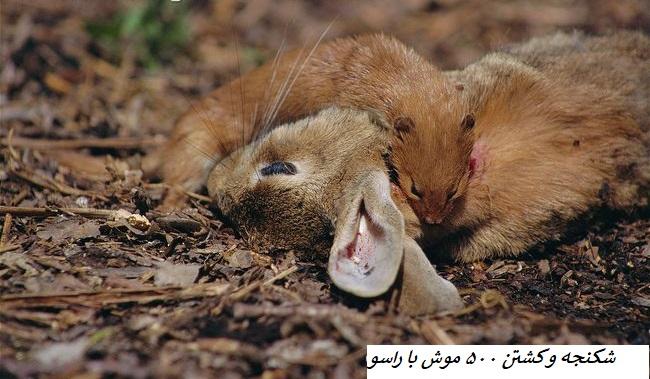 شکنجه و کشتن 500 موش با راسو