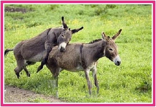 فیلم جفت گیری الاغ ها در مزرعه Ass mating on the farm – donkey (2)