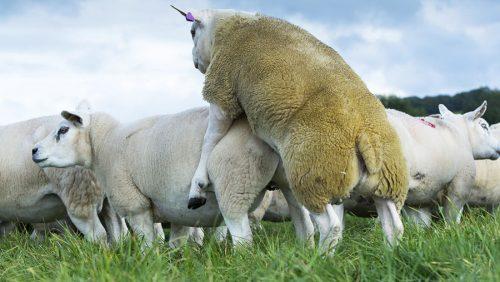جفتگیری گوسفند فیلم جفت گیری گوسفند