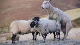 فیلم جفت گیری گوسفند Mating Sheep (2)