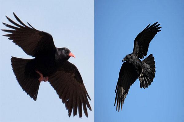 کلاغ و زاغ Crows and crows