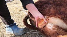 Cutting the sheep testis