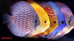 Discus Fish (2)