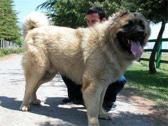 Great Caucasian Shepherd Dog