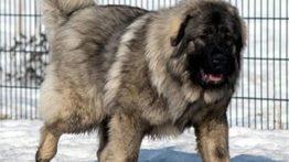 Great Caucasian Shepherd Dog (2)