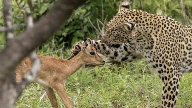 یوزپلنگ و آهو