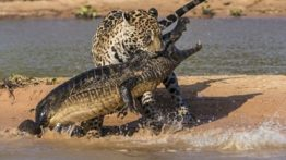 Jaguar Crocodile Hunting
