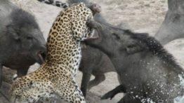 Leopard hunting by boar (1)