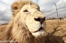 Lions attack humans