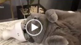 Scrub the cat's head with a massager
