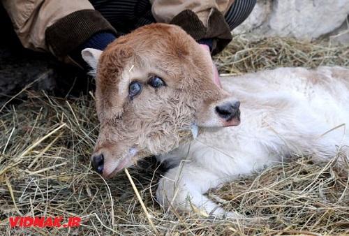 حیوانات دو سر گوساله