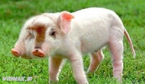 حیوانات دو سر خوک