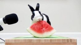 Watermelon eating funny rabbit