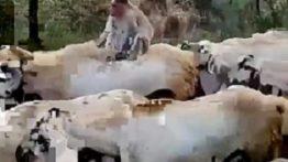 بز, خر ,حیوانات بامزه