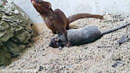جنگ ترسناک موش غول پیکر با گربه