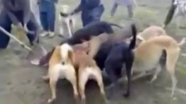 حمله سگ های وحشی به گراز