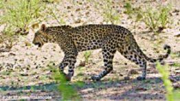 حیات وحش Kgalagadi در آفریقای جنوبی